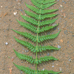 Leaf: Dryopteris intermedia. ~ By Arthur Haines. ~ Copyright © 2018. ~ arthurhaines[at]wildblue.net