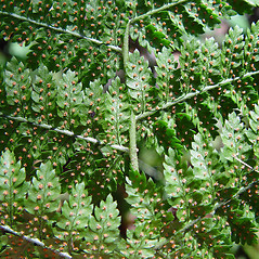 Sori: Dryopteris intermedia. ~ By Arthur Haines. ~ Copyright © 2018. ~ arthurhaines[at]wildblue.net