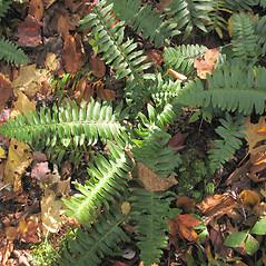 Plant form: Polystichum acrostichoides. ~ By Marilee Lovit. ~ Copyright © 2018 Marilee Lovit. ~ lovitm[at]gmail.com