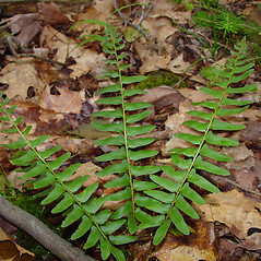 Leaf: Polystichum acrostichoides. ~ By Arthur Haines. ~ Copyright © 2018. ~ arthurhaines[at]wildblue.net