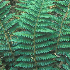 Leaf: Polystichum braunii. ~ By Hal Horwitz. ~ Copyright © 2019 New England Wild Flower Society. ~ Image Request, images[at]newenglandwild.org