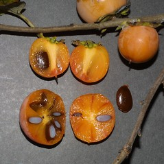Fruits: Diospyros virginiana. ~ By Steven Baskauf. ~ Copyright © 2018 CC-BY-NC-SA. ~  ~ Bioimages - www.cas.vanderbilt.edu/bioimages/frame.htm