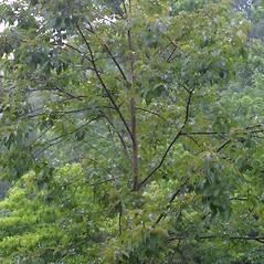 Plant form: Diospyros virginiana. ~ By Steven Baskauf. ~ Copyright © 2018 CC-BY-NC-SA. ~  ~ Bioimages - www.cas.vanderbilt.edu/bioimages/frame.htm
