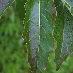 Leaves: Diospyros virginiana. ~ By Steven Baskauf. ~ Copyright © 2017 CC-BY-NC-SA. ~  ~ Bioimages - www.cas.vanderbilt.edu/bioimages/frame.htm