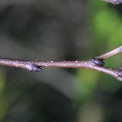 Winter buds: Diospyros virginiana. ~ By Steven Baskauf. ~ Copyright © 2019 CC-BY-NC-SA. ~  ~ Bioimages - www.cas.vanderbilt.edu/bioimages/frame.htm