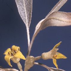 Flowers: Elaeagnus angustifolia. ~ By Adelaide Pratt. ~ Copyright © 2020 New England Wild Flower Society. ~ Image Request, images[at]newenglandwild.org