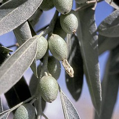 Fruits: Elaeagnus angustifolia. ~ By Gerry Carr. ~ Copyright © 2017 Gerry Carr. ~ gdcarr[at]comcast.net ~ U. of Washington - WTU - Herbarium - biology.burke.washington.edu/herbarium/imagecollection.php