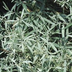 Leaves: Elaeagnus angustifolia. ~ By Alexey Zinovjev. ~ Copyright © 2020. ~ webmaster[at]salicicola.com ~ Salicicola - www.salicicola.com/