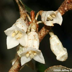 Flowers: Elaeagnus pungens. ~ By Jeffrey S. Pippen. ~ Copyright © 2020 Jeffrey S. Pippen. ~ jspippen[at]duke.edu ~ Jeff's Plant Page - www.duke.edu/~jspippen/plants/plants.htm