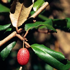 Fruits: Elaeagnus pungens. ~ By Ted Bodner. ~ Copyright © 2018 CC BY-NC 3.0. ~  ~ Bugwood - www.bugwood.org/