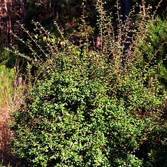 Plant form: Elaeagnus pungens. ~ By James Miller. ~ Copyright © 2020 CC BY-NC 3.0. ~  ~ Bugwood - www.bugwood.org/