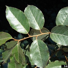 Leaves: Elaeagnus pungens. ~ By Rebekah Wallace. ~ Copyright © 2018 CC BY-NC 3.0. ~  ~ Bugwood - www.bugwood.org/