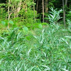 Plant form: Elaeagnus umbellata. ~ By Alexey Zinovjev. ~ Copyright © 2019. ~ webmaster[at]salicicola.com ~ Salicicola - www.salicicola.com/