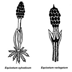 Comparison: Equisetum sylvaticum. ~ By Arthur Haines. ~ Copyright © 2019. ~ arthurhaines[at]wildblue.net