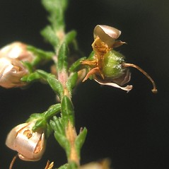 Fruits: Calluna vulgaris. ~ By Bruce Patterson. ~ Copyright © 2017 Bruce Patterson. ~ foxpatterson[at]comcast.net