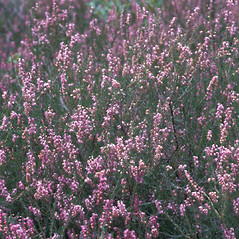 Plant form: Calluna vulgaris. ~ By Frank Bramley. ~ Copyright © 2018 New England Wild Flower Society. ~ Image Request, images[at]newenglandwild.org