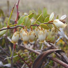 Flowers: Chamaedaphne calyculata. ~ By Glen Mittelhauser. ~ Copyright © 2017 Glen Mittelhauser. ~ www.mainenaturalhistory.org