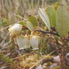 Leaves: Chamaedaphne calyculata. ~ By Glen Mittelhauser. ~ Copyright © 2017 Glen Mittelhauser. ~ www.mainenaturalhistory.org