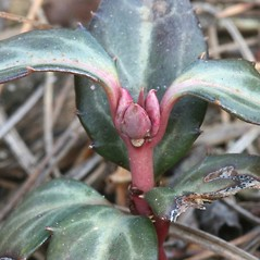 Winter buds: Chimaphila maculata. ~ By Arieh Tal. ~ Copyright © 2017 Arieh Tal. ~ http://botphoto.com/ ~ Arieh Tal - botphoto.com