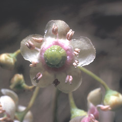 Flowers: Chimaphila umbellata. ~ By Frank Bramley. ~ Copyright © 2020 New England Wild Flower Society. ~ Image Request, images[at]newenglandwild.org