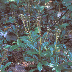 Fruits: Chimaphila umbellata. ~ By Frank Bramley. ~ Copyright © 2018 New England Wild Flower Society. ~ Image Request, images[at]newenglandwild.org