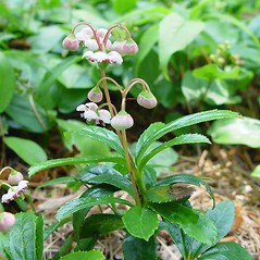 Plant form: Chimaphila umbellata. ~ By Arthur Haines. ~ Copyright © 2017. ~ arthurhaines[at]wildblue.net