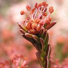 Flowers: Corema conradii. ~ By Marilee Lovit. ~ Copyright © 2019 Marilee Lovit. ~ lovitm[at]gmail.com