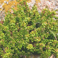 Plant form: Empetrum nigrum. ~ By Marilee Lovit. ~ Copyright © 2018 Marilee Lovit. ~ lovitm[at]gmail.com