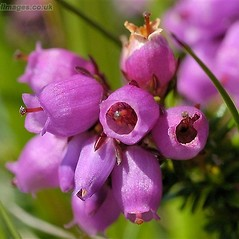 Flowers: Erica cinerea. ~ By John Crellin. ~ Copyright © 2018 © J.R. Crellin. ~ Floralimages www.floralimages.co.uk ~ Floral Images - www.floralimages.co.uk