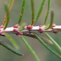 Winter buds: Erica vagans. ~ By Bruce Patterson. ~ Copyright © 2017 Bruce Patterson. ~ foxpatterson[at]comcast.net
