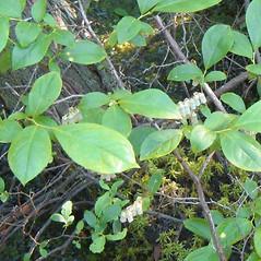 Leaves: Eubotrys racemosa. ~ By Alexey Zinovjev. ~ Copyright © 2020. ~ webmaster[at]salicicola.com ~ Salicicola - www.salicicola.com/