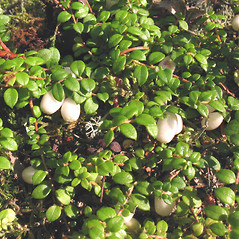 Plant form: Gaultheria hispidula. ~ By Marilee Lovit. ~ Copyright © 2020 Marilee Lovit. ~ lovitm[at]gmail.com