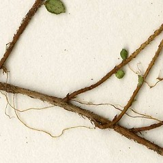 Stems: Gaultheria hispidula. ~ By CONN Herbarium. ~ Copyright © 2019 CONN Herbarium. ~ Requests for image use not currently accepted by copyright holder ~ U. of Connecticut Herbarium - bgbaseserver.eeb.uconn.edu/