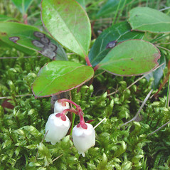 Flowers: Gaultheria procumbens. ~ By Glen Mittelhauser. ~ Copyright © 2020 Glen Mittelhauser. ~ www.mainenaturalhistory.org