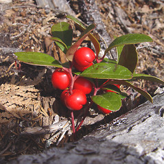 Fruits: Gaultheria procumbens. ~ By Donald Cameron. ~ Copyright © 2020 Donald Cameron. ~ No permission needed for non-commercial uses, with proper credit