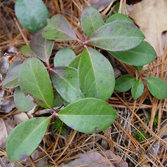 Leaves: Gaultheria procumbens. ~ By Arthur Haines. ~ Copyright © 2020. ~ arthurhaines[at]wildblue.net