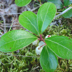 Leaves: Gaultheria procumbens. ~ By Glen Mittelhauser. ~ Copyright © 2020 Glen Mittelhauser. ~ www.mainenaturalhistory.org