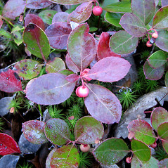 Leaves: Gaultheria procumbens. ~ By Karen Searcy. ~ Copyright © 2020 Karen Searcy. ~ ksearcy[at]bio.umass.edu
