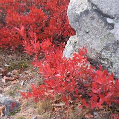 Plant form: Gaylussacia baccata. ~ By Alexey Zinovjev. ~ Copyright © 2018. ~ webmaster[at]salicicola.com ~ Salicicola - www.salicicola.com/