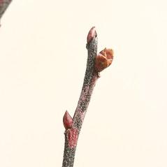 Winter buds: Gaylussacia baccata. ~ By Arieh Tal. ~ Copyright © 2019 Arieh Tal. ~ http://botphoto.com/ ~ Arieh Tal - botphoto.com