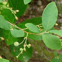 Fruits: Gaylussacia frondosa. ~ By Alexey Zinovjev. ~ Copyright © 2018. ~ webmaster[at]salicicola.com ~ Salicicola - www.salicicola.com/