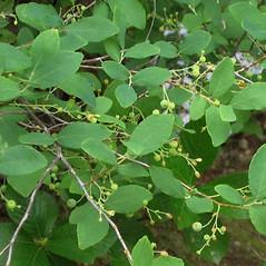Plant form: Gaylussacia frondosa. ~ By Alexey Zinovjev. ~ Copyright © 2018. ~ webmaster[at]salicicola.com ~ Salicicola - www.salicicola.com/