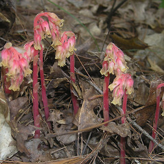 Plant form: Hypopitys lanuginosa. ~ By Bruce Patterson. ~ Copyright © 2018 Bruce Patterson. ~ foxpatterson[at]comcast.net