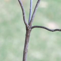 Bark: Kalmia angustifolia. ~ By Arieh Tal. ~ Copyright © 2017 Arieh Tal. ~ http://botphoto.com/ ~ Arieh Tal - botphoto.com