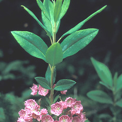 Leaves: Kalmia angustifolia. ~ By Adelaide Pratt. ~ Copyright © 2019 New England Wild Flower Society. ~ Image Request, images[at]newenglandwild.org