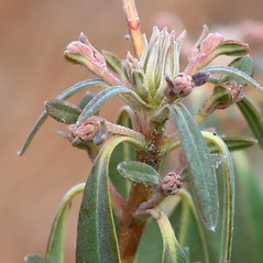 Winter buds: Kalmia angustifolia. ~ By Arieh Tal. ~ Copyright © 2017 Arieh Tal. ~ http://botphoto.com/ ~ Arieh Tal - botphoto.com