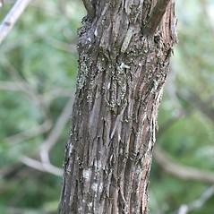 Bark: Kalmia latifolia. ~ By Arieh Tal. ~ Copyright © 2019 Arieh Tal. ~ http://botphoto.com/ ~ Arieh Tal - botphoto.com