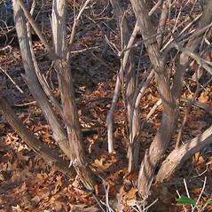 Bark: Kalmia latifolia. ~ By Alexey Zinovjev. ~ Copyright © 2019. ~ webmaster[at]salicicola.com ~ Salicicola - www.salicicola.com/