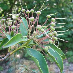 Fruits: Kalmia latifolia. ~ By Karen Searcy. ~ Copyright © 2019 Karen Searcy. ~ ksearcy[at]bio.umass.edu