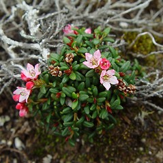Plant form: Kalmia procumbens. ~ By Arthur Haines. ~ Copyright © 2017. ~ arthurhaines[at]wildblue.net